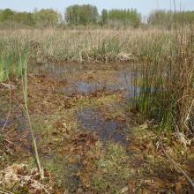 Herbiers aquatiques au sein des Marais de Sacy
