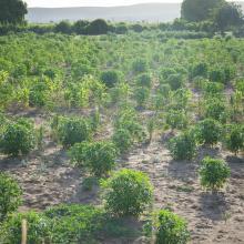 Plantation de mais sur le Baiboho