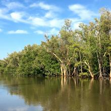 Mangrove mixte à Avicennia marina et Rhizophora mucronata
