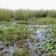 Habitat à Némuphar dans le lac Sofia