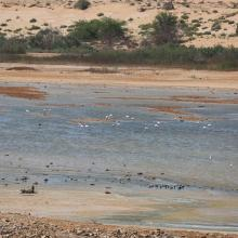 Oued As-Saqia Al Hamra à l'amont du barrage dunaire _flamants et sarcelles marbrées