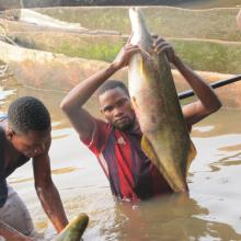 Pêche « Lufuma » pour la prise de Mormyrops deliciosus sur le fleuve Congo à Likenze (Loukolela)