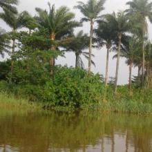 Palmeraie à Elais guineensis pour la récolte du vin de palme