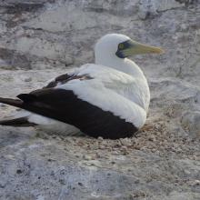 Masked Booby Sula dactylatra on Sombrero Island - note the date the photo was taken is unknown, not as given