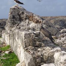 Brown Booby Sula leucogaster on Sombrero Island - note the date the photo was taken is unknown, not as given