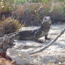 Endemic Sombrero Island Ground Lizard Ameiva corvina, Sombrero Island - note the date the photo was taken is unknown, not as given
