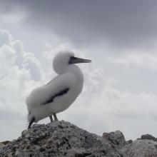 Masked Booby Sula dactylatra chick on Sombrero Island - note the date the photo was taken is unknown, not as given