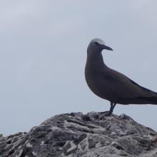 Brown Noddy Anous stolidus on Sombrero Island - note the date the photo was taken is unknown, not as given