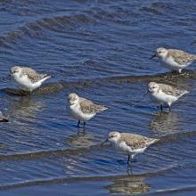 """""""Playero Blanco"""", Calidris alba, otra de las especies migratorias neárticas que llegan a Monkul cada primavera; ocupan playas marinas y sectores de marismas."""