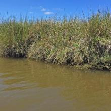 Vegetación característica en la ribera de los canales de marismas, Area Monkul.