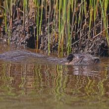 """""""Coipo"""", Myocastor coipus, roedor acuático y habitante numeroso de los ambientes de marismas y pajonales en el Area Monkul."""