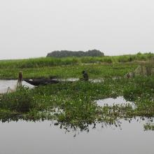 Zone du Lac Nokoue investie par la Jacinthe d'eau. On peut noter aussi sur la photo l'installation des filets pour la capture des poissons