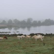 Pâturage bovin en Brenne