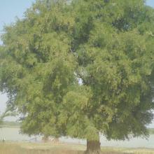 Photo 8 : Présence d'espèces à grande valeur socio-économique: le Tamarinier