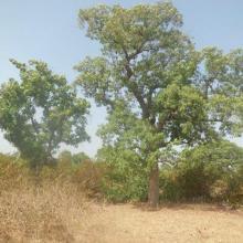 Photo 13 : Vue de la forêt classée de Dem avec des espèces menacées au plan mondiale (Vetellaria paradoxa)