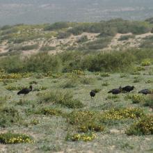 Aire de gagnage de l'Ibis chauve : steppe littorale près de Tamri