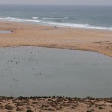 Stationnement hivernal de milliers de Laridés sur la 'plage' de Tamri