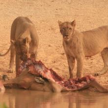 Des lions dévorant une carcasse