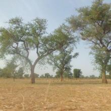 Parc agroforestier à Acacia albida, une espèce bénéficiant de mesures de protection particulière au Burkina Faso