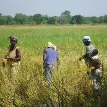 Photo 6 : Des femmes récoltant du riz aux abords du cours d'eau de la forêt galerie de Léra