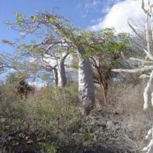 Baobabs on escarpment, Lac Tsimanamsotsa, eastern shore.