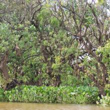Inundate forest at Prek Toal Ramsar site