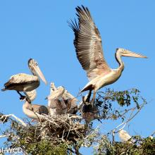 Spot-billed Pelican nest in Prek Toal Ramsar site