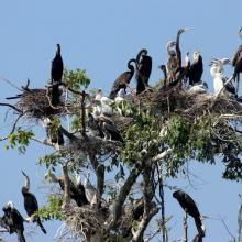 Darter nest in Prek Toal Ramsar site