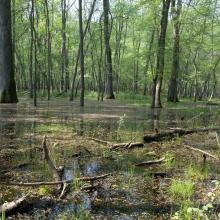 Flooded forest – Massaciuccoli Ramsar Site