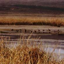 Patos altoandinos del Lago de Junín