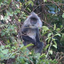 Indochinese silvered langur (Trachypithecus germaini) at Stung Sen Ramsar Site