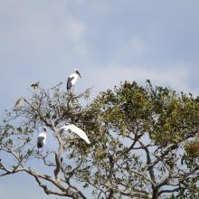 Waterbirds staying on the canopy at Stung Sen Ramsar Site