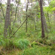 bog woodland