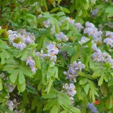 Guayacán con flores y frutos
