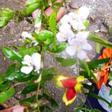 Flores y fruto de Guayacán
