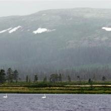Pair of Wooper Swans