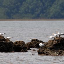 Oiseaux d'eaux