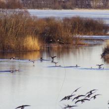Geese at lake Östen