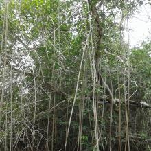 Forêt à mangrove