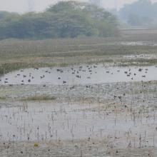 Congregation of Migratory Birds in Nawabganj Wetland.