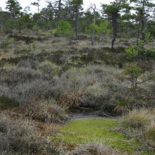 Hummocks and hollows on raised bog Close to forest border