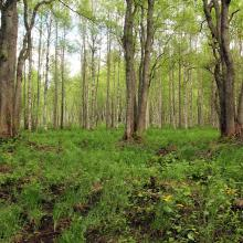 Swamp forest with Viola uliginosa, Calla palustris, Caltha palustris.