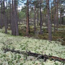 Pine forest on bedrock with thin soil cover at Getapulien-Grönbo