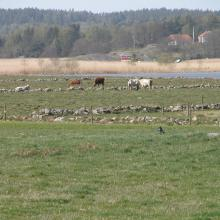 Grazing cattles, Nordre älvs estuarium