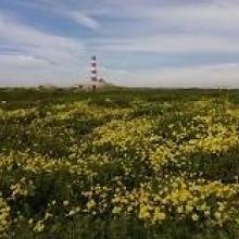 Yellow oxalis with Lighthouse