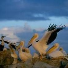 Pelicans with White breasted cormorants