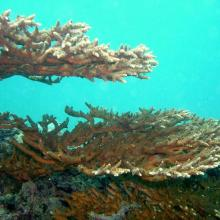 Acropora downingi-Coral