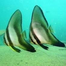 Longfin batfish - Platax teira