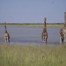 Giraffe on the edge of Fischer's Pan, eastern Etosha.