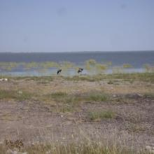 Blue Cranes on the edge of Etosha Pan near Doringdraai, eastern Etosha.